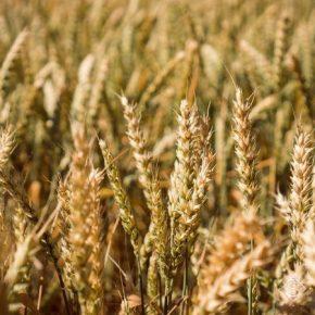 Американцы запатентовали высокоурожайный сорт пшеницы с повышенным содержанием клетчатки