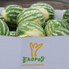 Выращенные в Украине арбузы будут экспортировать в Великобританию