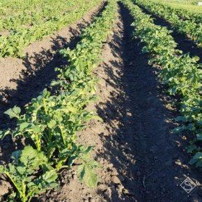 Запрет отдельных пестицидов усложнит сезон для европейских картофелеводов
