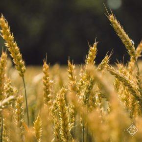 В прошлом году урожайность пшеницы превзошла показатель последних 9 сезонов