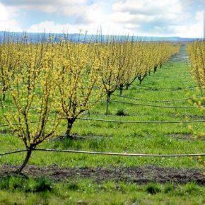 На Запорожье зацвел самый большой в мире кизиловый сад