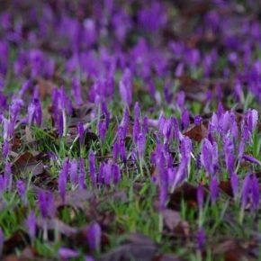 На Закарпатье зацвели плантации шафрана