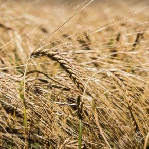 Прошлый сезон отметился приростом средней урожайности для производителей ячменя в Украине