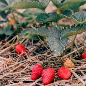 На ферме под киевом выращивают органические ягоды и лаванду