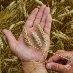 Озвучен прогноз нынешнего недобора урожая зерна в Украине