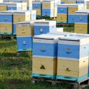 Пасечники обратились к Кабмину через массовые отравления пчел пестицидами