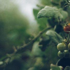 Классическая музыка ускоряет рост и развитие томатов на четверть — ученые