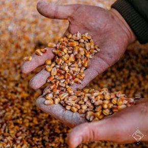 Обнародованы данные закупочных цен на основные сельхозкультуры в Украине