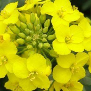 Лимагрейн Украина проводит акцию на приобретение семян рапса