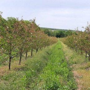 На Винниччине заложат новые вишневые сады