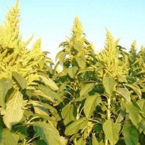 На Черниговщине будут выращивать амарант