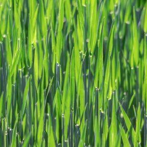 К концу цветения зерновые колосовые необходимо обработать фунгицидами — советы специалиста