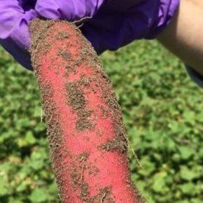 Ученые нашли способ повышения урожайности батата
