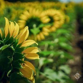Прогнозы производства масличных в Украине базируются на снижении их урожайности — аналитики