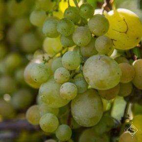 Хмельницкий садовник выращивает сотни видов винограда и малины