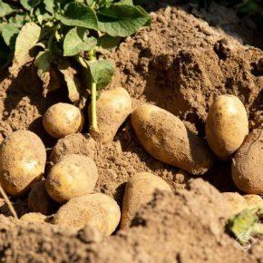 Молодая картошка может сгнить в полях — прогноз