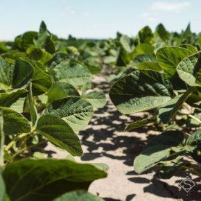 В Украине расширились географические границы выращивания сои — агроном