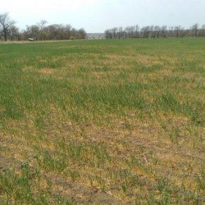 На юге Одесской области засуха уничтожила до 70% посевов озимых