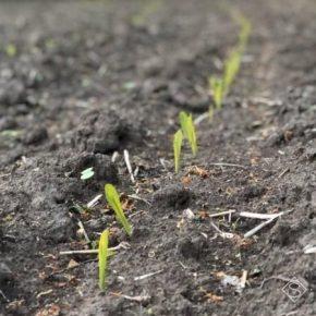 Сумские аграрии перевыполнили план сева кукурузы