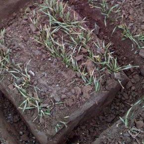 На полях Сумщины погибло более полутора тысяч гектаров озимых