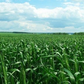 Аграриям рассказали, как выбрать оптимальный фунгицид для защиты зерновых
