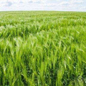 Ускоренное развитие озимых повлечет за собой дальнейшее снижение урожайности культур НААН
