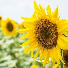 В UKRAVIT рассказали, как максимально эффективно раскрыть потенциал урожайности подсолнечника