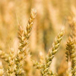 Жара в июне может повлиять на снижение производства зерна в Черноморском регионе
