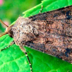 На полях Области активизировались бабочки совки