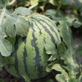 Ученый рассказал, когда следует ожидать первых урожаев арбуза