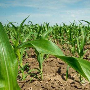 Названы ключевые риски потерь урожая кукурузы из-за похолодания
