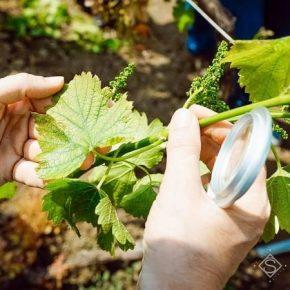 На Прикарпатье виноградники пришлось спасать от майских заморозков