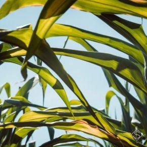 Кое-где из-за засухи на полях вянут растения подсолнечника и кукурузы