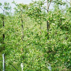 В Украине под угрозой оказалась закладка новых плодовых и ягодных насаждений — эксперт