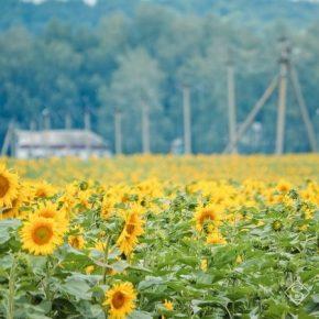 Площади сева подсолнечника в Украине выросли на более 500 тыс. га
