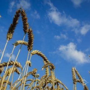 В НААН оценили состояние посевов зерновых колосовых культур