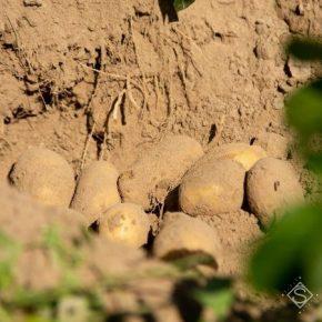 Эксперт дал оценку будущему урожаю картофеля в Украине