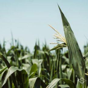 На полях Харьковщины массового развития приобрели вредители кукурузы и подсолнечника