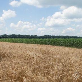 Биостимулятор помог справиться с последствиями аномальных заморозков на пшенице — опыт ДГ Драбівське