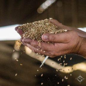 В портах выросли закупочные цены на пшеницу и рапс