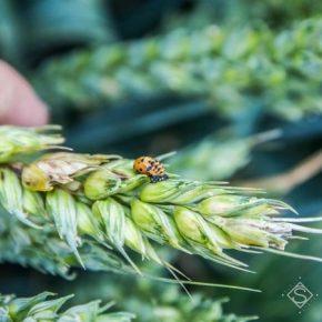 Избыточное увлажнение способствует увеличению глубокого поражения зерна пшеницы фузариозом