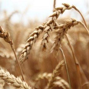 Фитосанитарное состояние полей требует проведения передзбирального обследования посевов зерновых
