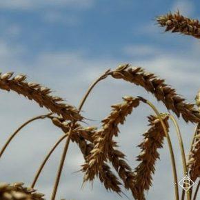 Погода способствовала распространению болезней в посевах зерновых культур НААН