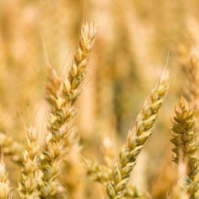 Запасы влаги и теплая погода способствуют формированию урожая сельхозкультур
