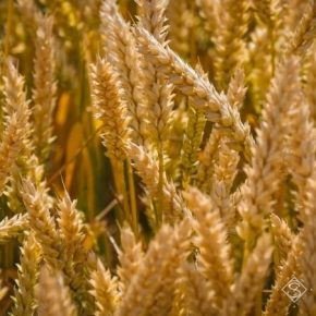 Установлен новый мировой рекорд урожайности пшеницы