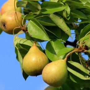 Ученые представили новые сорта груши украинской селекции