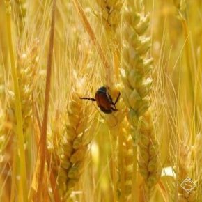 Посевами несобранных зерновых в полях распространяются вредители