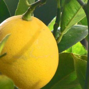 В тепличных условиях лесоводы Черкасщины выращивают лимоны