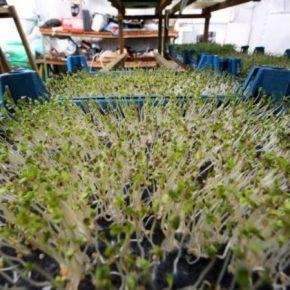 Семейное хозяйство поделился опытом выращивания микрозелени