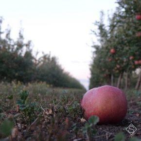 В Украине прогнозируют увеличение урожая промышленного яблока